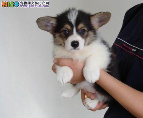 天津CKU认证犬舍出售高品质柯基欢迎您的光临