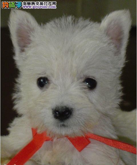 吉林哪里有西高地卖 吉林西高地多少钱 吉林宠物狗狗
