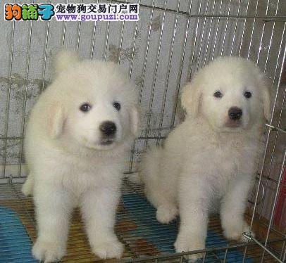 纯种大白熊 健康纯种专业养殖