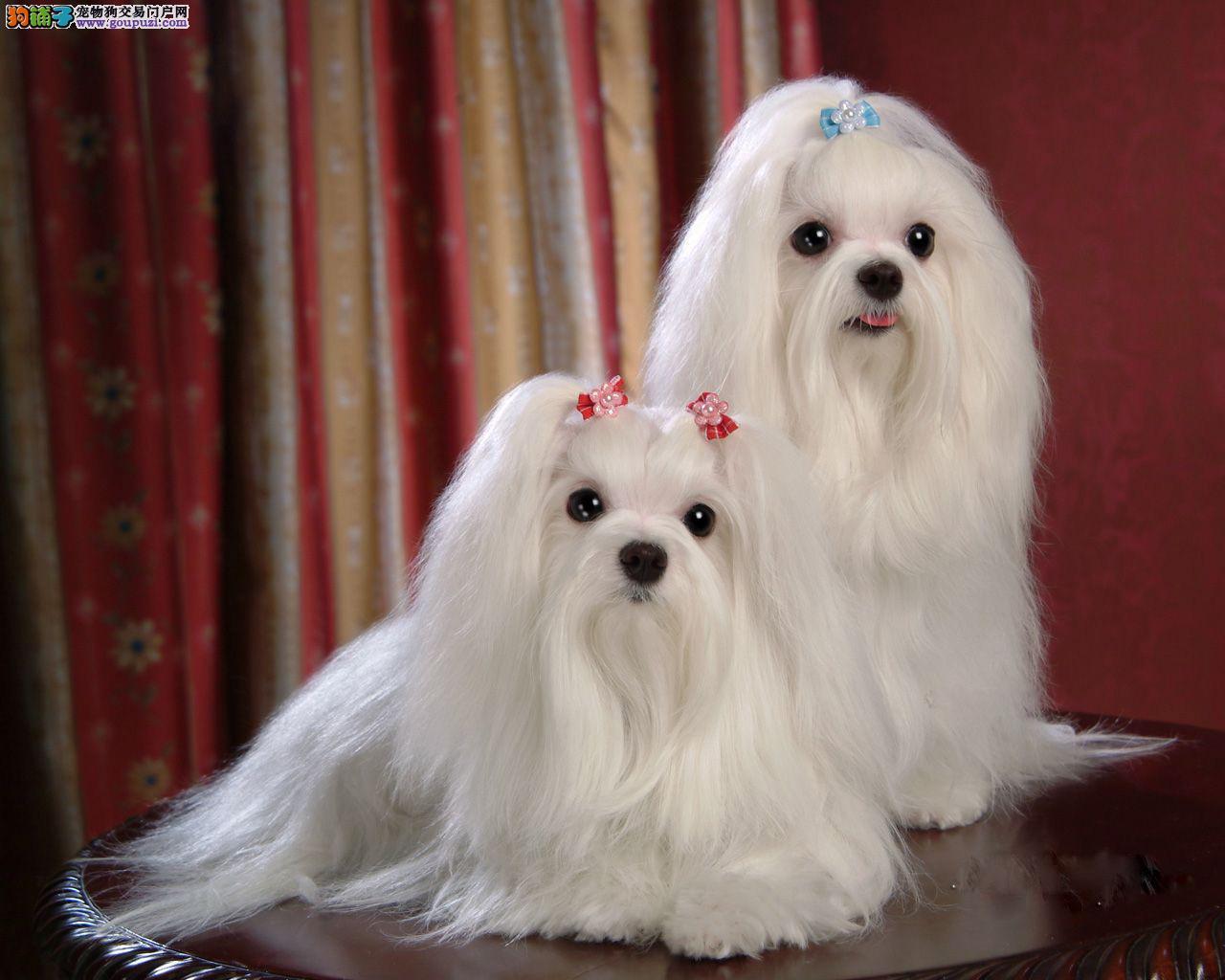 济南纯种马尔济斯犬出售 济南哪里出售马尔济斯犬