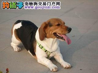 郑州自家狗场繁殖直销比格犬幼犬办理血统证书