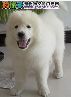 南京哪里出售大白熊 南京大白熊价格 南京大白熊犬