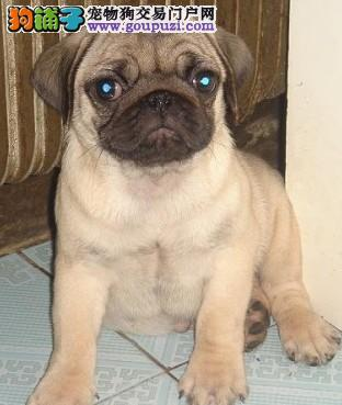 基地出售纯种巴哥幼犬,保证健康纯种 终身售后