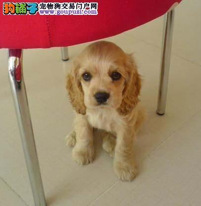 可卡犬专业繁殖 繁育销售一体 签协议包纯种
