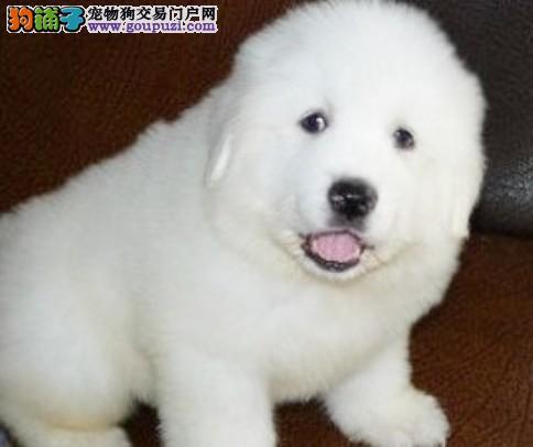 温州出售血统纯种的大白熊幼犬 公母都有 质保健康