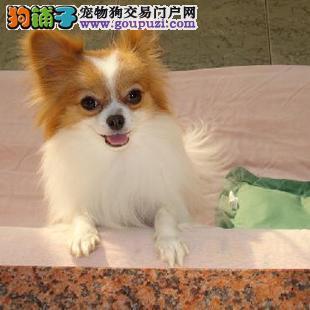武汉大型犬舍低价热卖极品蝴蝶犬购犬可签协议
