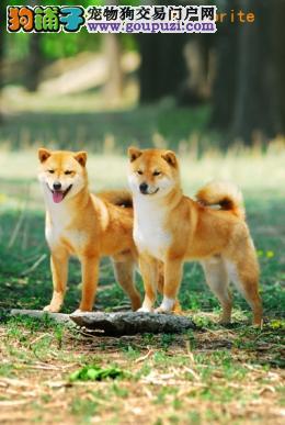长春哪里有柴犬卖 长春哪里出售纯种柴犬多少钱