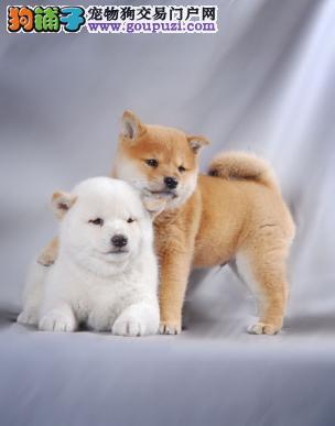 纯种日本柴犬 可爱的小精灵 城市家庭伴侣犬;欢迎选购