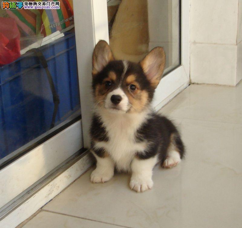 出售纯种柯基幼犬 健康保证 信誉保证 诚信保证