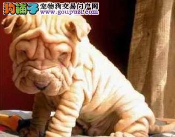 纯血统沙皮狗幼犬、专业繁殖包质量、签订正规合同