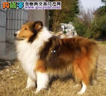 出售纯种喜乐蒂幼犬 健康保证 信誉保证 诚信保证