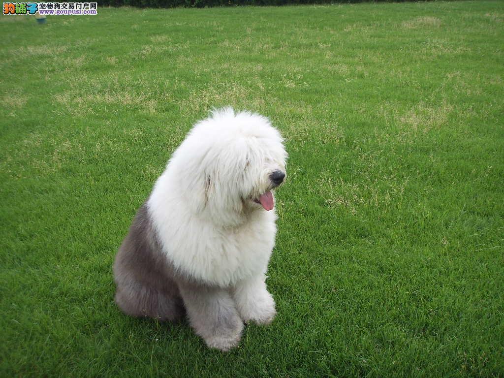北京出售英国古代牧羊犬狗场直销价格合理