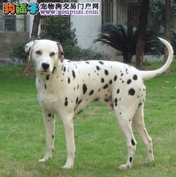 济南知名犬舍出售多只赛级斑点狗保证冠军级血统