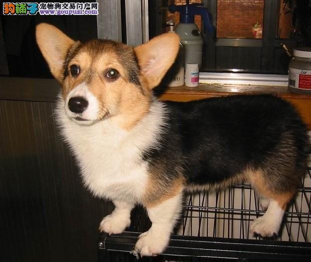 权威机构认证犬舍 专业培育柯基幼犬微信咨询视频看狗