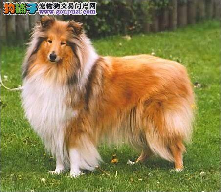 高端苏格兰牧羊犬幼犬、价格美丽品质优良、三年质保协议