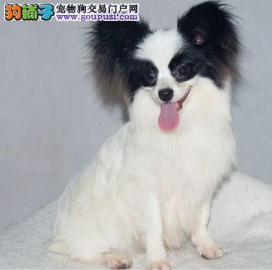 直销蝴蝶犬幼犬、专业繁殖包质量、专业信誉服务