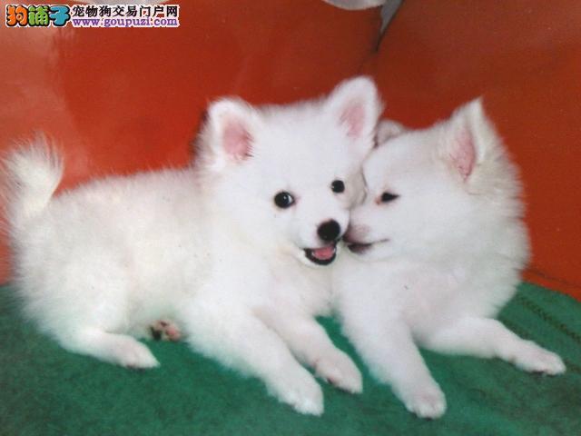 日本尖嘴犬出售喜欢的来看看