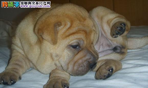 出售纯种沙皮幼犬,健康可爱疫苗齐全,可上门挑选