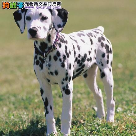 高品质斑点狗幼犬,低价热销保健康,购犬可签协议