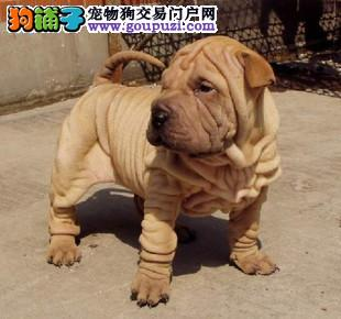 赛级沙皮狗幼犬 可看狗狗父母照片 签协议可送货
