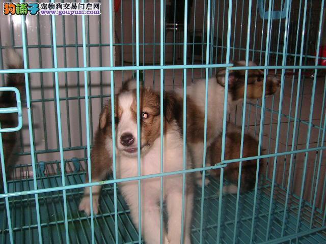 犬场直销苏格兰牧羊犬1800