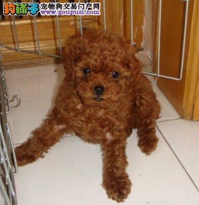 犬场出售可爱泰迪熊宝宝