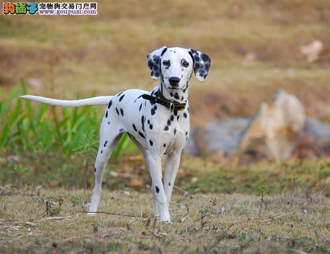 直销赛级斑点狗、欢迎选购信誉第一,实物拍摄可见父母、可签保障协议