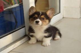 纯种柯基幼犬、纯度好100%健康、微信咨询看狗