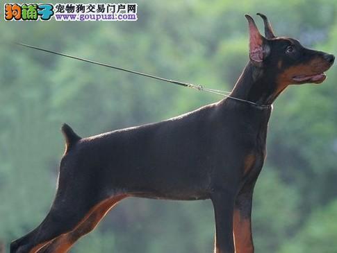CKU犬舍认证出售高品质海口杜宾犬微信看狗可见父母