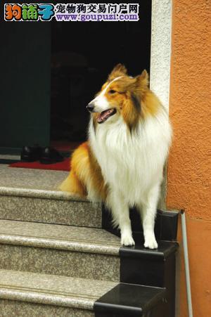 出售苏格兰牧羊犬幼犬、完美品相 品质第一、三年质保协议