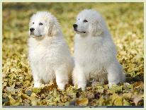 那里有纯种大白熊卖?正规狗场有售,包存活,价格实惠