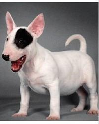 纯种赛级牛头梗,专业繁殖血统纯正,购犬可签协议