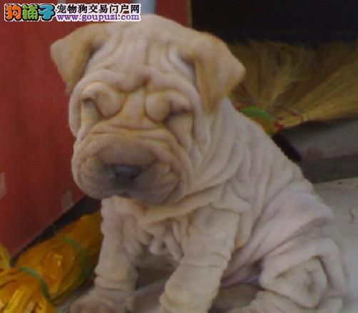 东莞哪里有卖沙皮犬,东莞纯种沙皮狗是什么价格