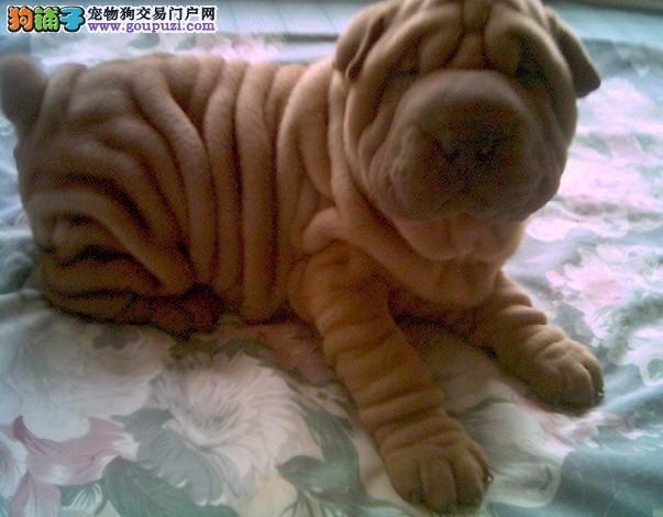 赛级品质 中国斗犬沙皮狗 广州专业犬舍出售