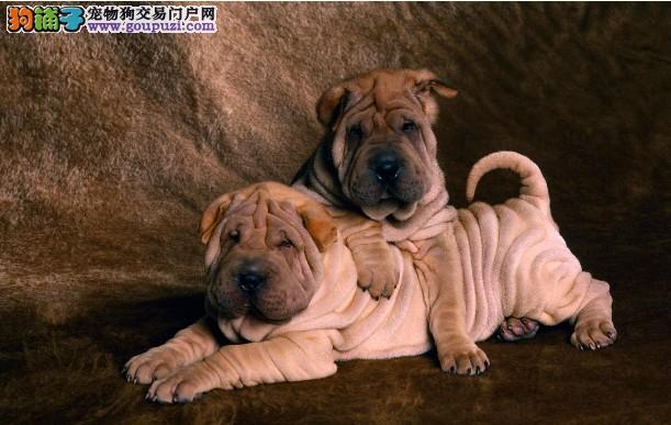 不通过任何中介直接可看狗父母纯种 沙皮幼犬出售。