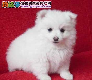 出售纯种健康白色银狐幼犬 有喜欢的朋友欢迎上门挑选