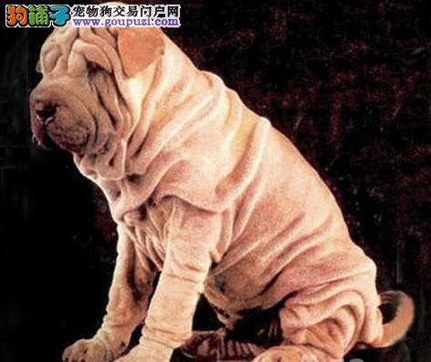 纯种高品质沙皮幼犬价格实惠可送货签署质保协议