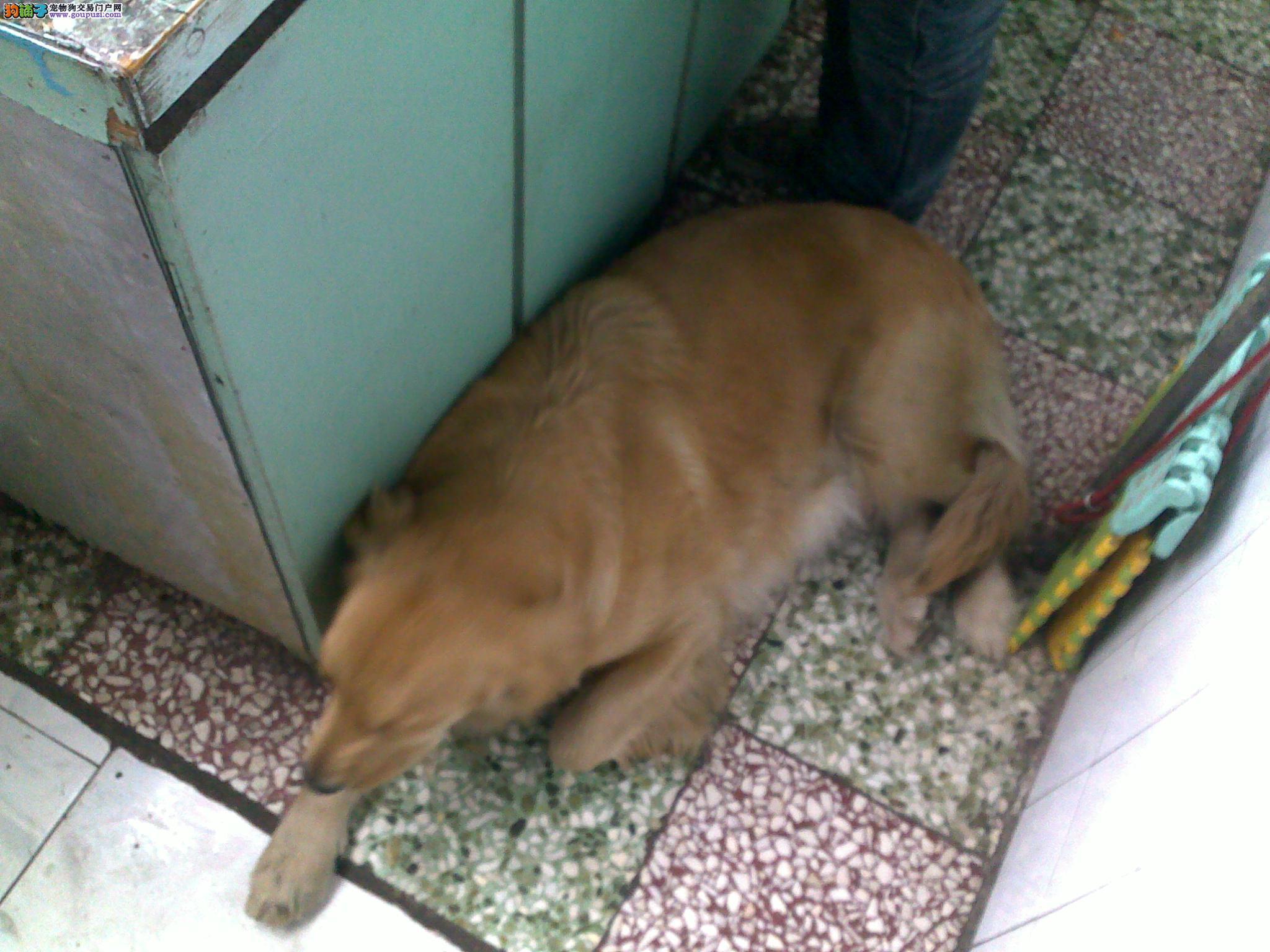 宝宝 金毛犬/金毛 导盲犬7只大狗都是纯种40天宝宝[一个月公母全有]