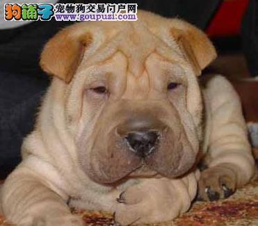 精品活泼可爱纯种温顺憨厚沙皮幼犬,公母都有,保健康