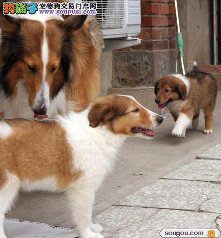 优惠价出售品质苏格兰牧羊犬宠物狗,保证24K纯种健康