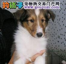 冠军级血系苏牧宝宝低价出售 购买可正规购犬签订协仪