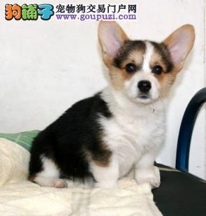 出售多种颜色榆林纯种柯基幼犬微信看狗真实照片包纯