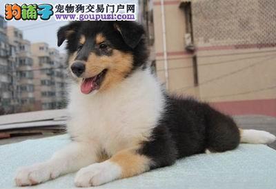 多种颜色的赛级苏牧幼犬寻找主人全国十佳犬舍