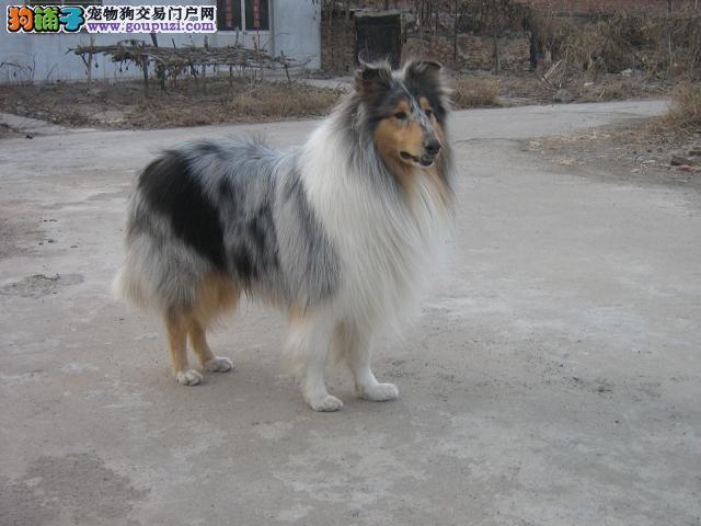 出售赛级纯种苏格兰牧羊 苏牧幼犬 可上门选购