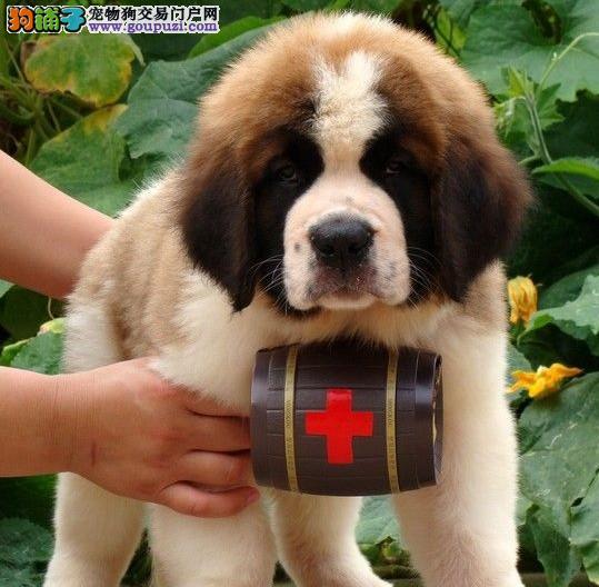 健康可爱的圣伯纳宝宝低价出售啦 可上门看狗