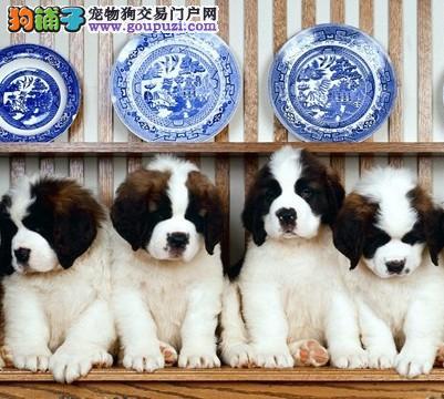 国际注册犬舍 出售极品赛级圣伯纳幼犬保障品质售后