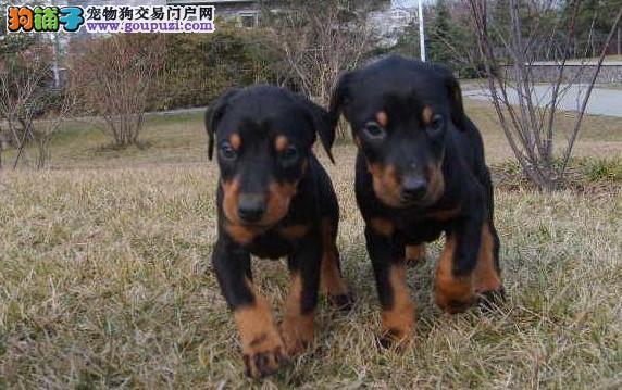 西安出售杜宾犬幼犬品质好有保障优惠出售中狗贩子勿扰
