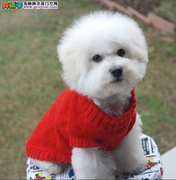 北京皇家犬舍出售极品比熊犬 绝对纯种 保障健康