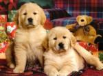 北京皇家犬舍出售极品金毛犬 绝对纯种 保障健康