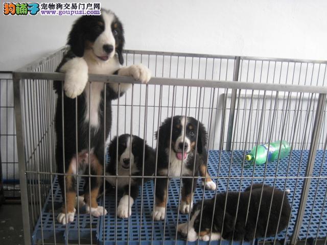 出售纯种伯恩山幼犬品质保证,可上门选购全部疫苗做好